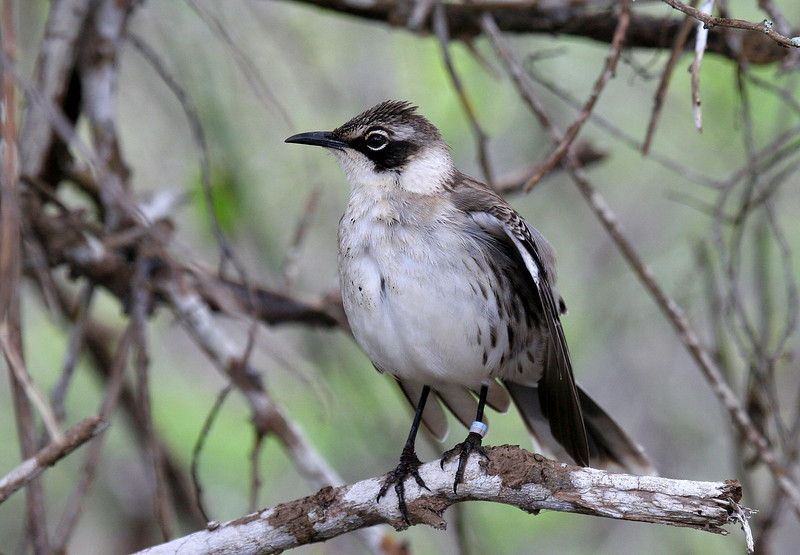 Galapagos Mockingbird, Santa Cruz Is.<br /> Sept. 8, 2007<br /> ©Peter Candido 2008.  All rights reserved