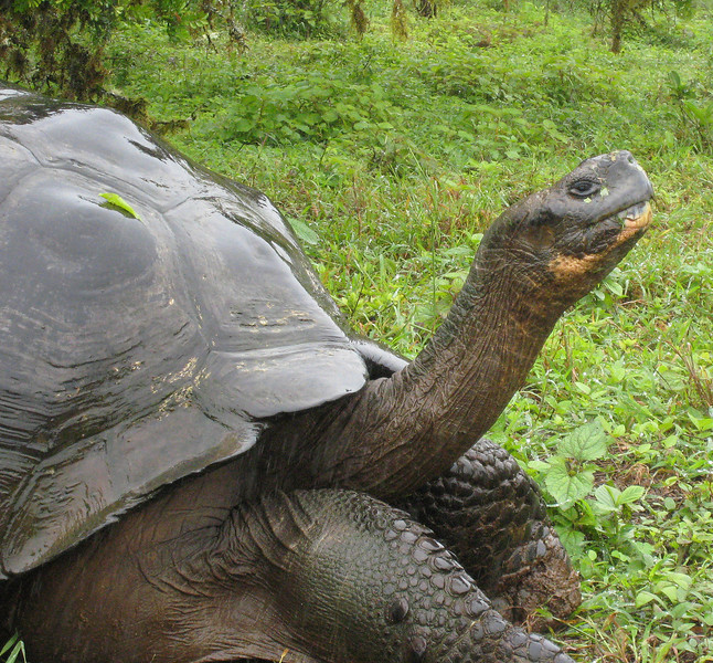 Galapagos Tortoise<br /> Santa Cruz Is., Galapagos<br /> Sept.8, 2007<br /> ©Peter Candido All Rights Reserved