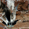 Blue-footed Booby displaying<br /> N. Seymour Is., Galapagos<br /> Sept.7, 2007<br /> ©Peter Candido All Rights Reserved