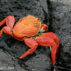Sally-Lightfoot Crab<br /> Santa Cruz Is.<br /> Sept.14, 2007<br /> ©Peter Candido. All rights reserved.