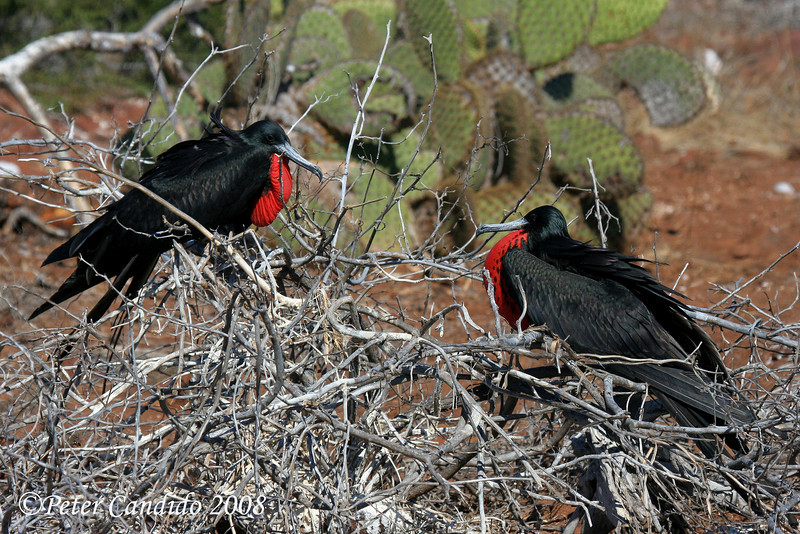 Great Frigatebird males<br /> N. Seymour Is., Galapagos<br /> Sept.7, 2007<br /> ©Peter Candido All Rights Reserved