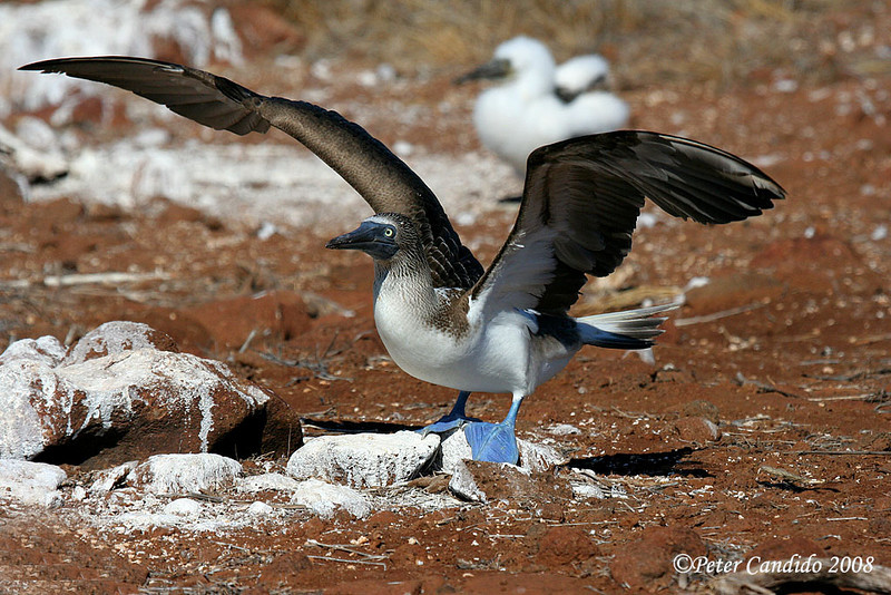 Blue-footed Booby taking off<br /> N. Seymour Is., Galapagos<br /> Sept.7, 2007<br /> ©Peter Candido All Rights Reserved