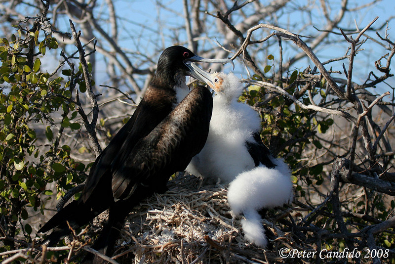 Great Frigatebird female feeding chick<br /> N. Seymour Is., Galapagos<br /> Sept.7, 2007<br /> ©Peter Candido All Rights Reserved