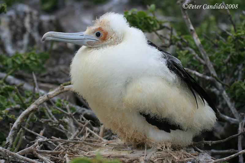 Great Frigatebird, chick<br /> Genovesa Is.<br /> Sept.13, 2007<br /> ©Peter Candido. All rights reserved.
