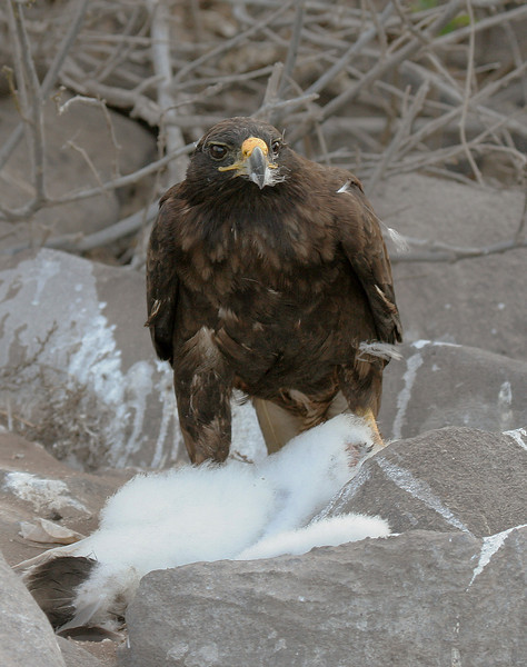 Galapagos Hawk feeding on booby chick<br /> Espanola Is., Galapagos<br /> Sept.9, 2007 <br /> ©Peter Candido All Rights Reserved