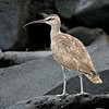 Whimbrel<br /> Espanola Is., Galapagos<br /> Sept.9, 2007 <br /> ©Peter Candido All Rights Reserved<br /> This species is a migrant in the Islands.