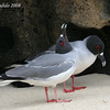Swallow-tailed Gull pair<br /> Genovesa Is.<br /> Sept.13, 2007<br /> ©Peter Candido. All rights reserved.