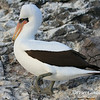 Nazca Booby<br /> Espanola Is.<br /> Sept.9, 2007<br /> ©Peter Candido. All rights reserved.