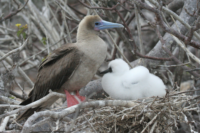 Red-footed Booby with chick<br /> Genovesa Is., Galapagos<br /> Sept.9, 2007 <br /> ©Peter Candido All Rights Reserved