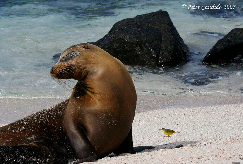 Galapagos Sea Lion with Yellow Warbler<br /> Espanola (Hood) Is.<br /> Sept.9, 2007<br /> ©Peter Candido 2008.  All rights reserved