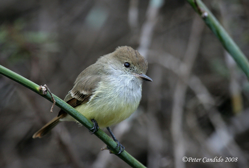 Galapagos Flycatcher, Espanola Is.<br /> Sept. 9, 2007<br /> ©Peter Candido 2008.  All rights reserved