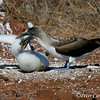 Blue-footed Booby feeding chick<br /> N. Seymour Is., Galapagos<br /> Sept.7, 2007<br /> ©Peter Candido All Rights Reserved