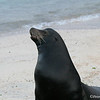 Galapagos Sea Lion, male<br /> Espanola<br /> Sept.9, 2007<br /> ©Peter Candido All Rights Reserved