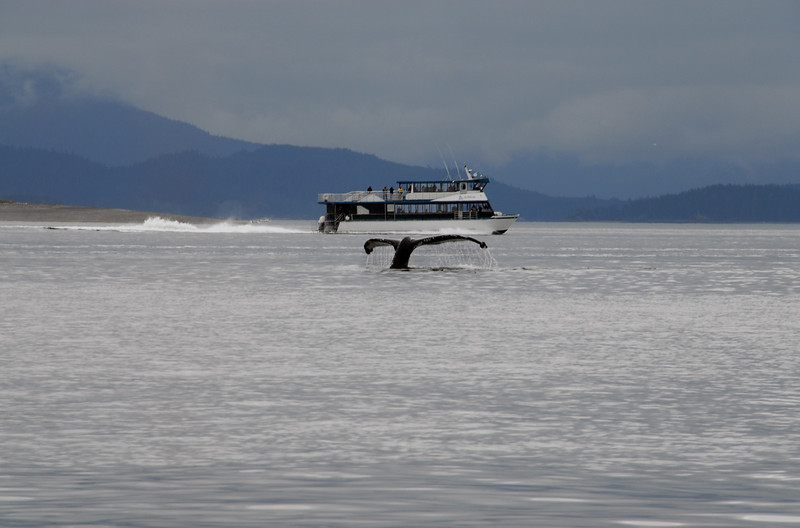 This whale's tail almost dwarfs the other whale watching boat in the distance.