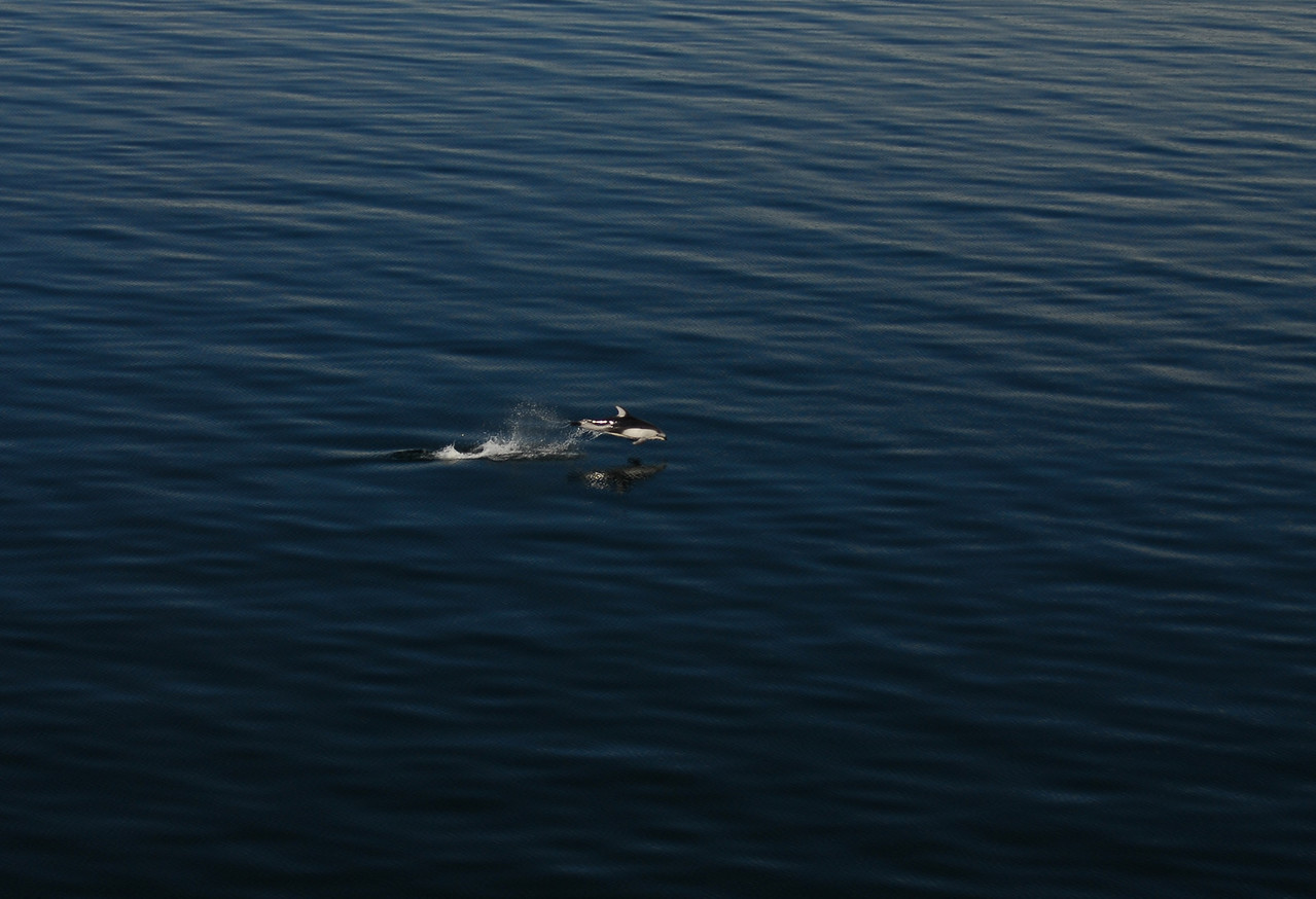 Another Alaskan Dolphin enjoys the calm seas