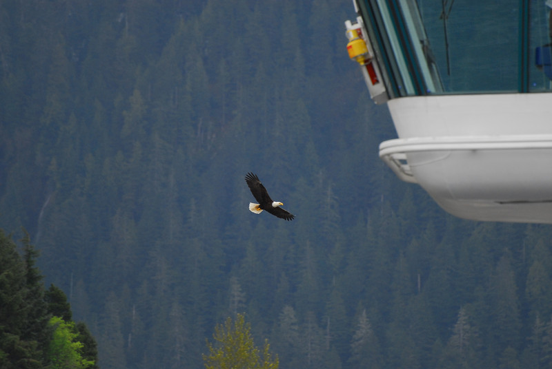 Eagle in flight near the ship's bridge