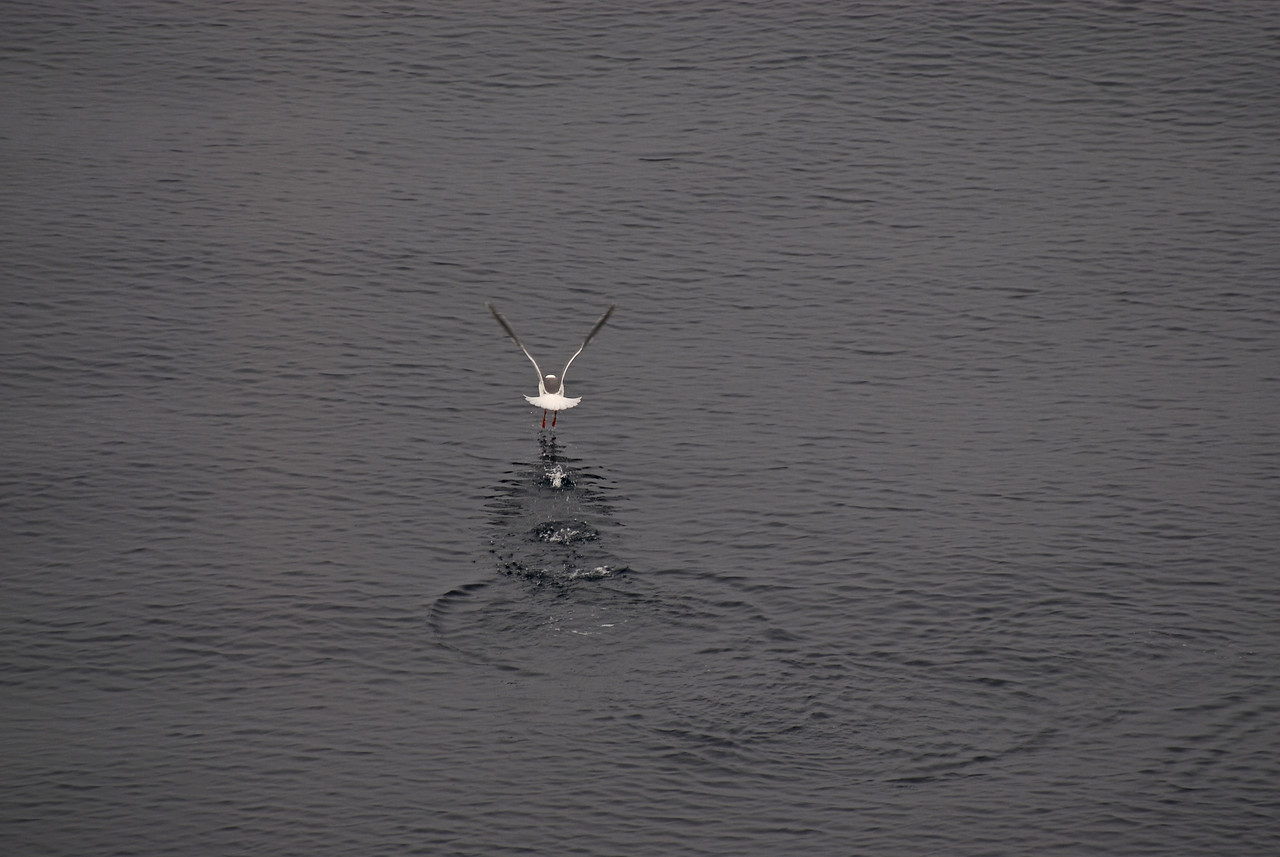 This tern walks on water. There were many more amazing sites of wildlife that lay ahead.