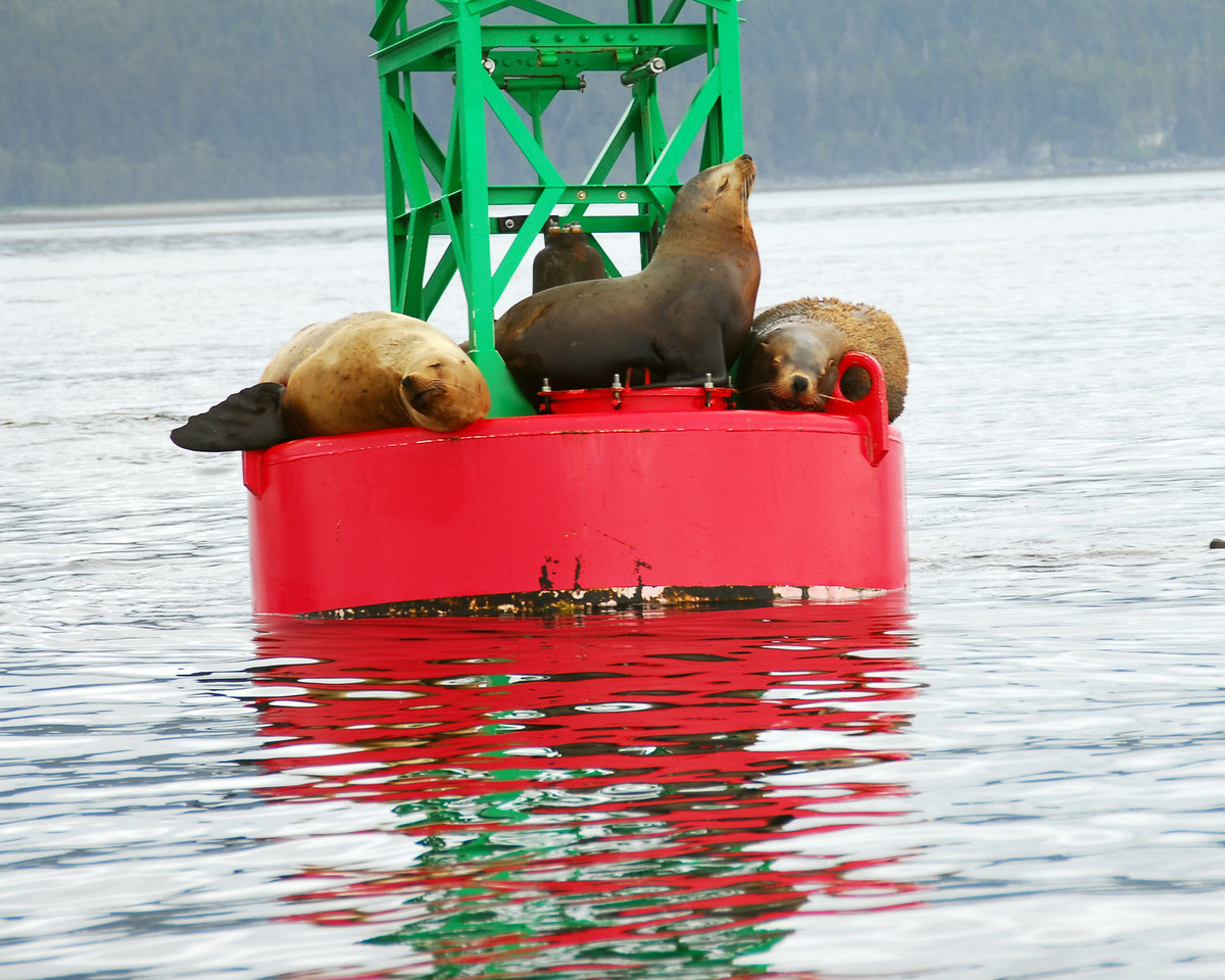 These Sea Lions and seals shared an old buoy. However, any younguns' who tried to jump aboard were met with growls and baring of teeth