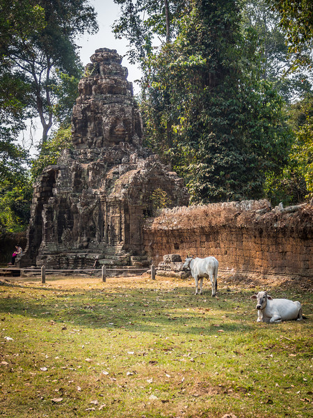 Cows and the Entrance to Banteay Kdei, Angkor