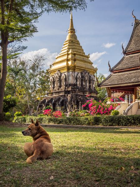 Temple Dog, Wat Chiang Man, Chiang Mai
