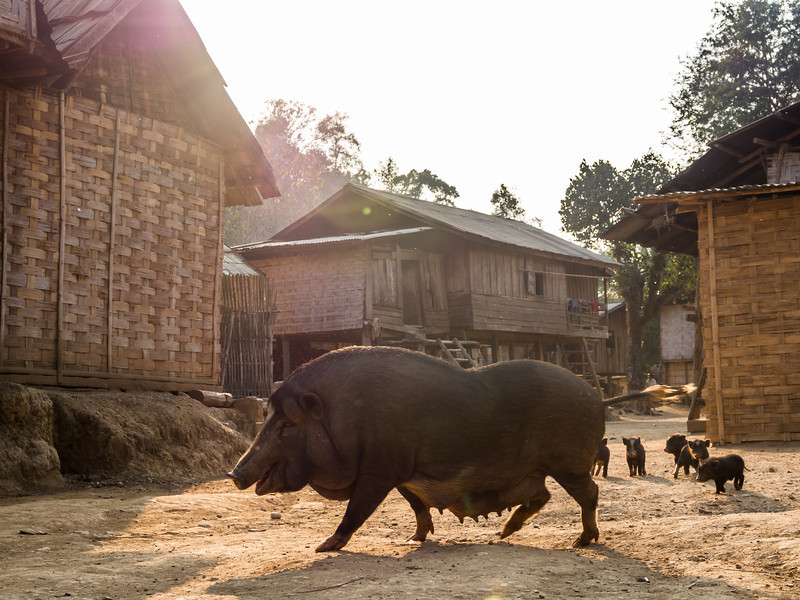 Pig Crossing, Ban Long Yuak, Laos