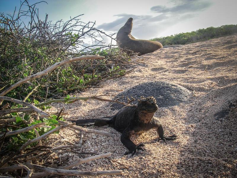 Marine Iguana & Sea Lion, Seymour, Galapagos