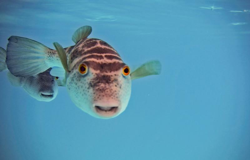 Curios Puffer, San Cristobal, Galapagos
