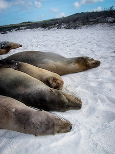 Lazy Sea Lions, Española, Galapagos