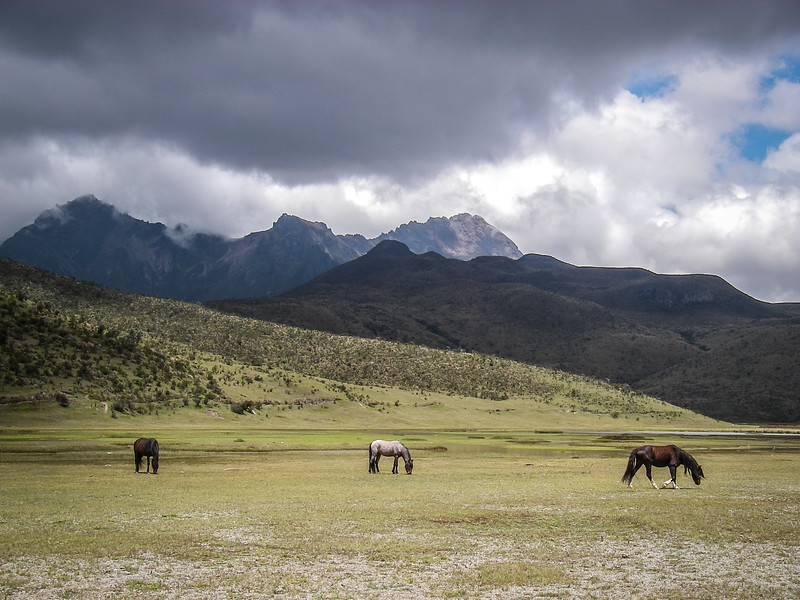 Wild Horses Grazing at Cotopaxi National Park, Ecuador