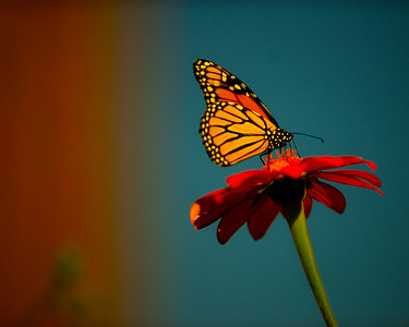 Battery Park Monarch