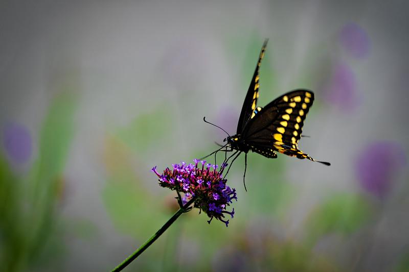 Dark Swallowtail