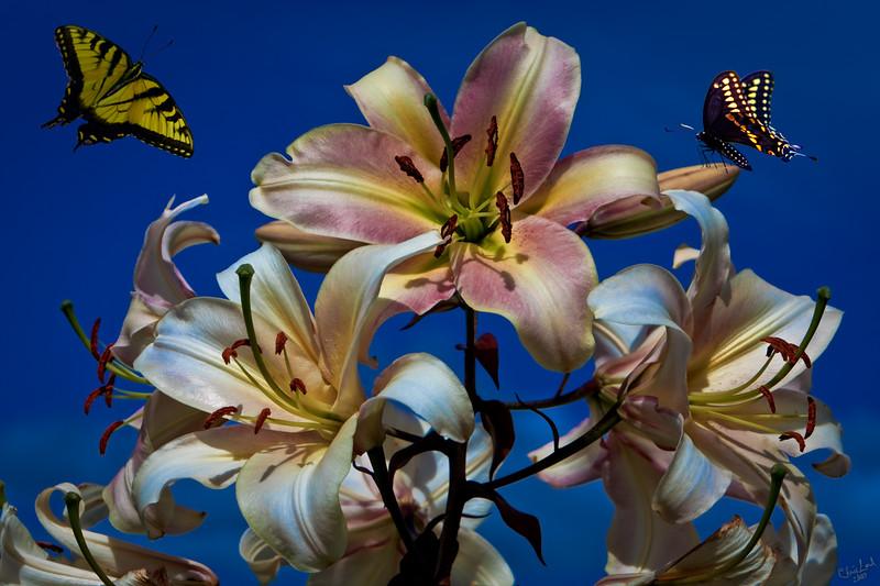 Lillies and Butterflies