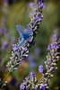 Blue Butterfly on Lavender