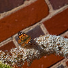 An English Red Admiral