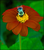 Bumble Bee On A Red Flower
