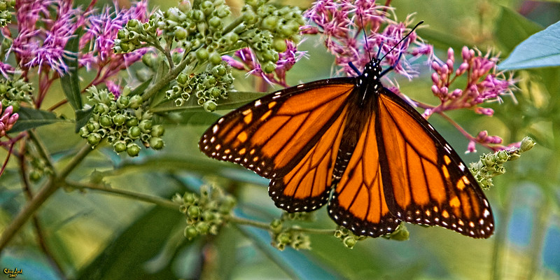 A Monarch Feeding