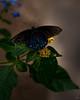 Navy Butterfly