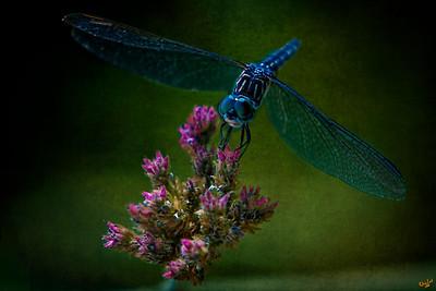 Dark Dragonfly