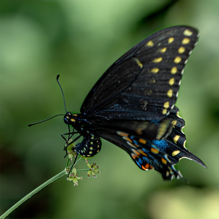 Egg Laying Swallowtail
