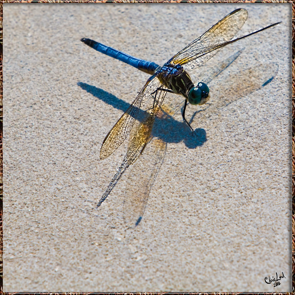 A Dragonfly Warms Itself In The Sun