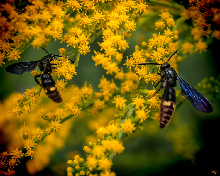 Black Wasps Lunching on Pollen