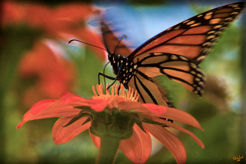 The Mexicans, A Monarch and A Mexican Sunflower