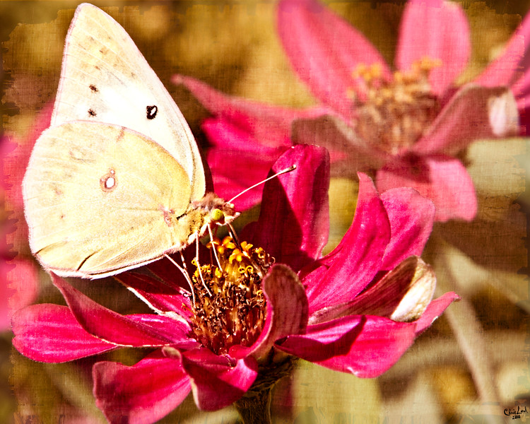 Pale Yellow Butterfly Macro on a Red Flower with Textures
