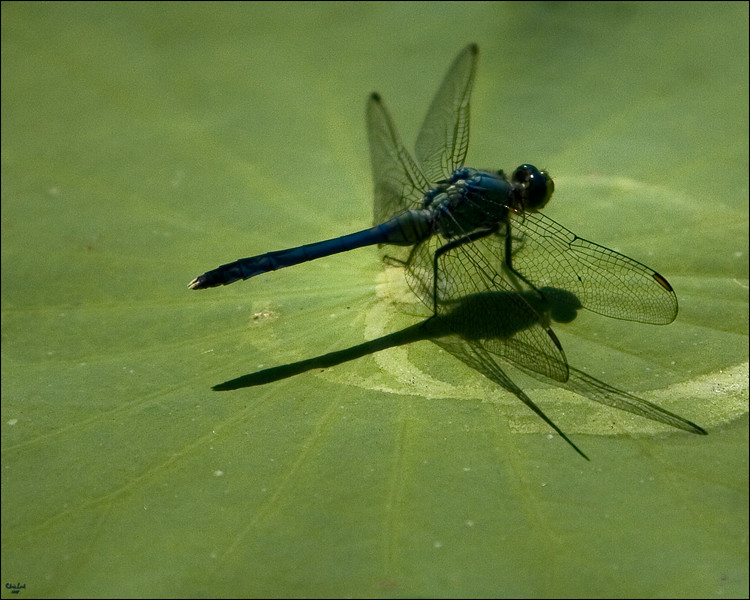 Dragonfly on Lotus Leaf