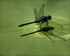 Dragonfly on Lotus Leaf