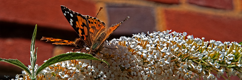 A Pair of English Red Admirals