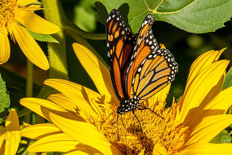 Monarch On Sunflowers