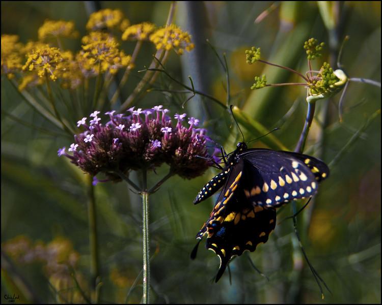 Dark Blue Butterfly