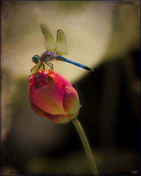 Loyus Bud Dragonfly