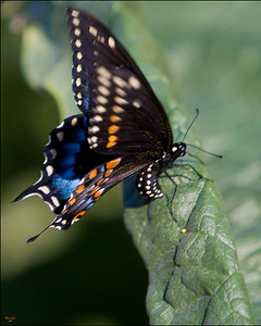 Dark Blue Butterfly Laying Eggs